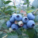 ブルーベリーの栄養成分について アントシアニンの機能性